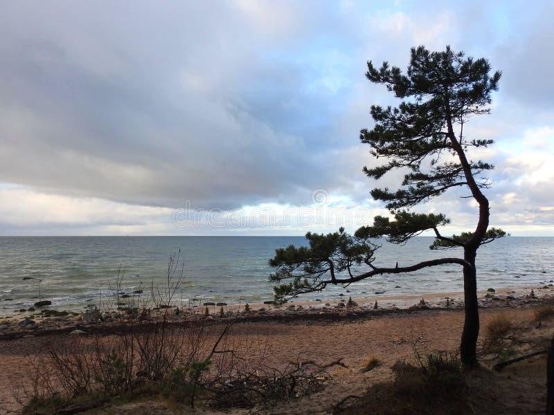 在波罗的海海岸,立陶宛的美丽的松树 免版税库存照片