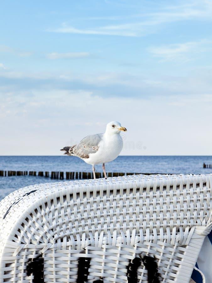在波罗的海海滩睡椅的海鸥 免版税库存照片