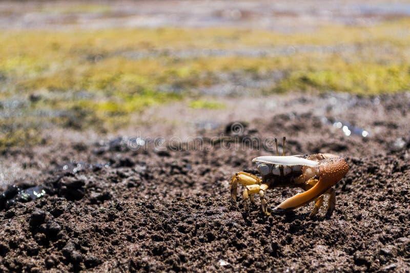 在泥泞的沙子的招潮蟹在防御位置 库存照片