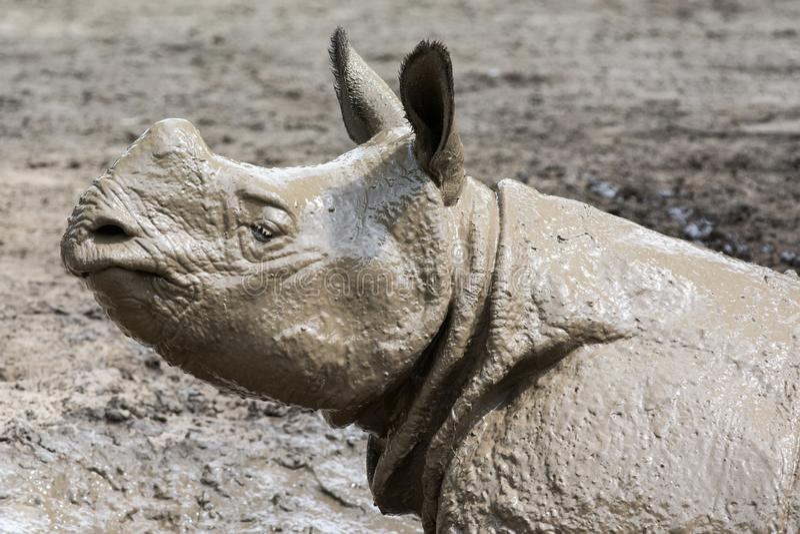 在泥浴以后的犀牛 免版税库存图片
