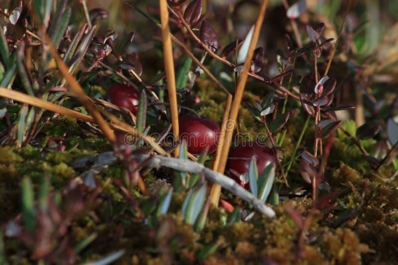 在泥炭藓的牛痘oxycoccos 蔓越桔 免版税库存图片
