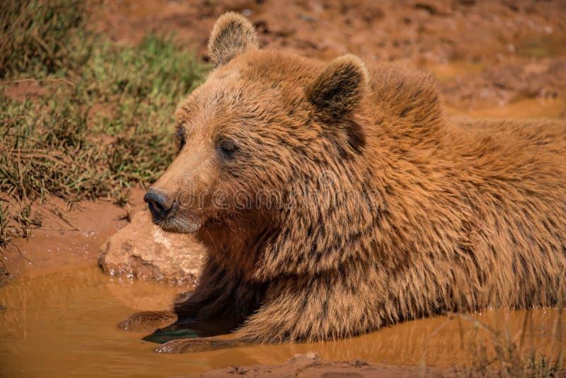 在泥的棕熊在阳光下 免版税图库摄影