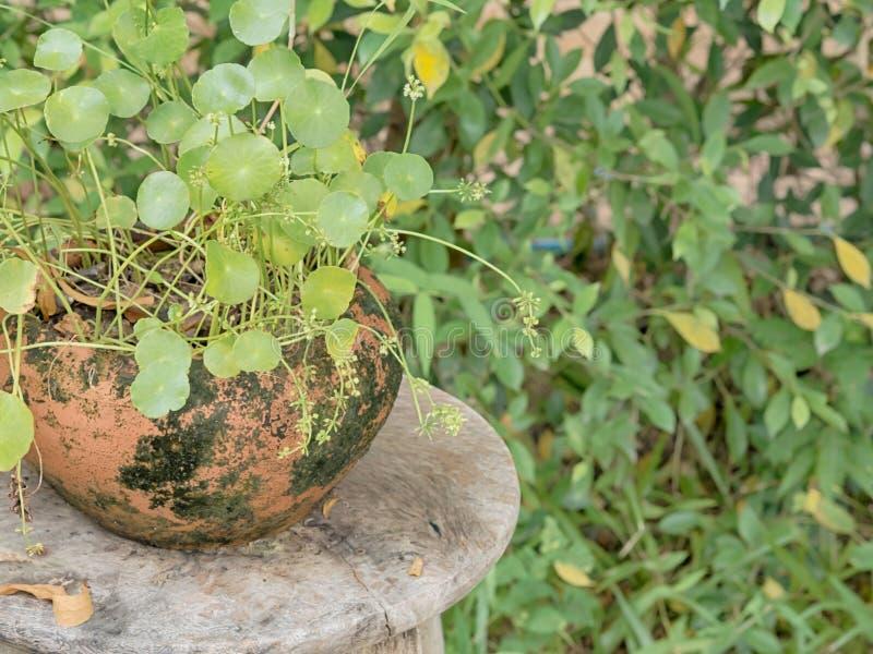 在泥罐的蕨在木桌上,在庭院里 免版税库存图片