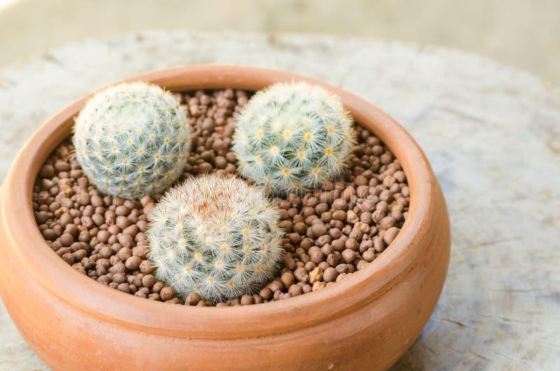 Download 在泥罐的Mammillaria carmenae 库存照片. 图片 包括有 bossies, 增长, beauvoir - 62527610