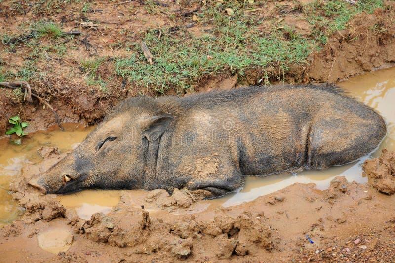 在泥水池的野公猪 库存照片