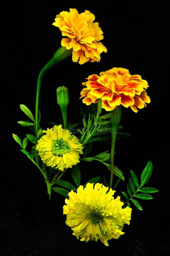 在黑背景的美丽的黄色花 免版税库存图片