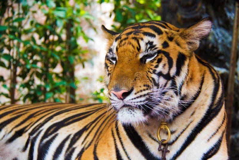 在泰国的老虎 库存照片