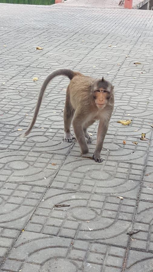 在泰国的猴子 库存图片
