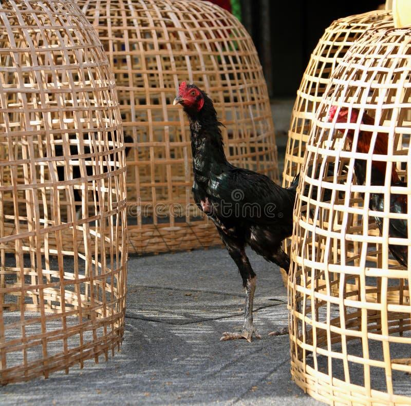 在泰国鸡舍和网裂口旁边的黑雄鸡立场 它是好斗的公鸡,为斗鸡养殖和训练的雄鸡 库存照片