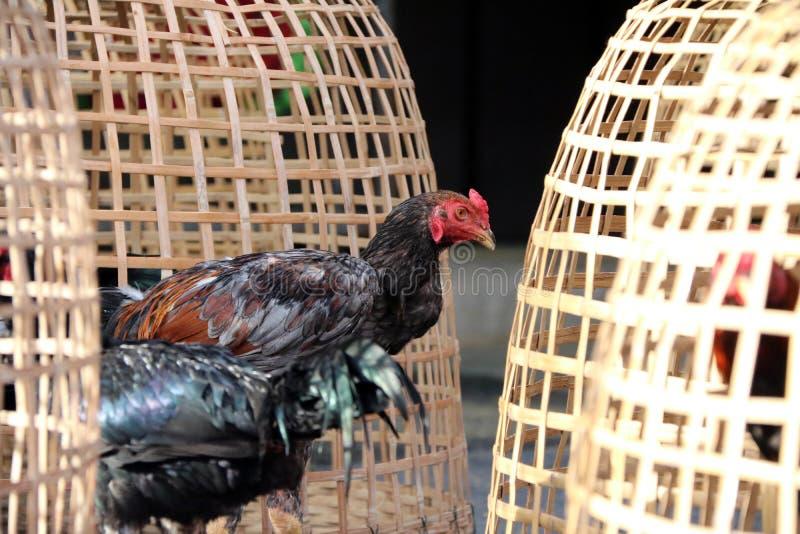 在泰国鸡舍和网裂口旁边的黑雄鸡立场 它是好斗的公鸡,为斗鸡养殖和训练的雄鸡 免版税库存图片