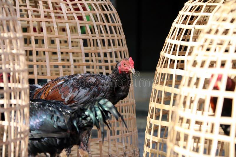在泰国鸡舍和网裂口旁边的黑雄鸡立场 它是好斗的公鸡,为斗鸡养殖和训练的雄鸡 库存图片