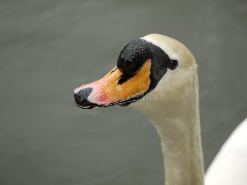在泰晤士的湿钩形的天鹅 免版税图库摄影