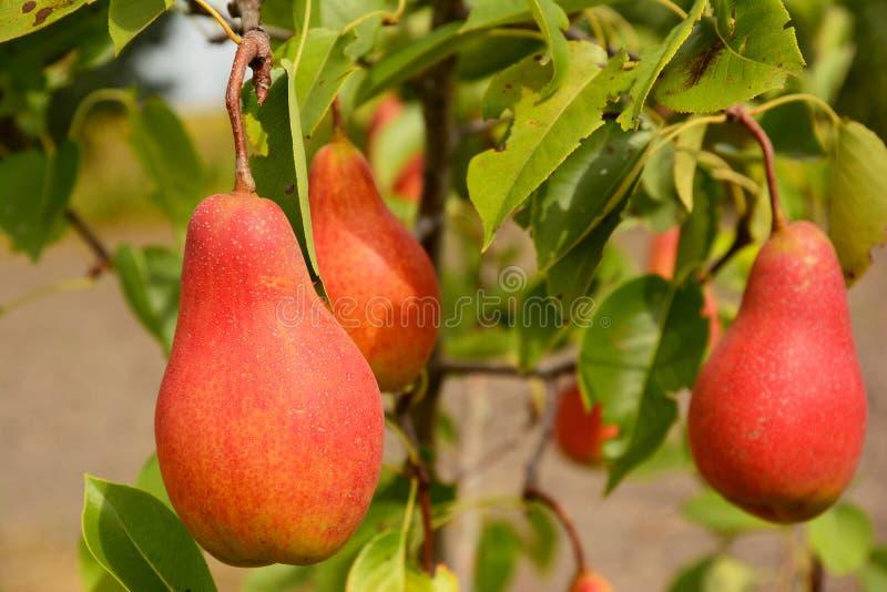 在洋梨树分支的新鲜的成熟红色梨 库存图片