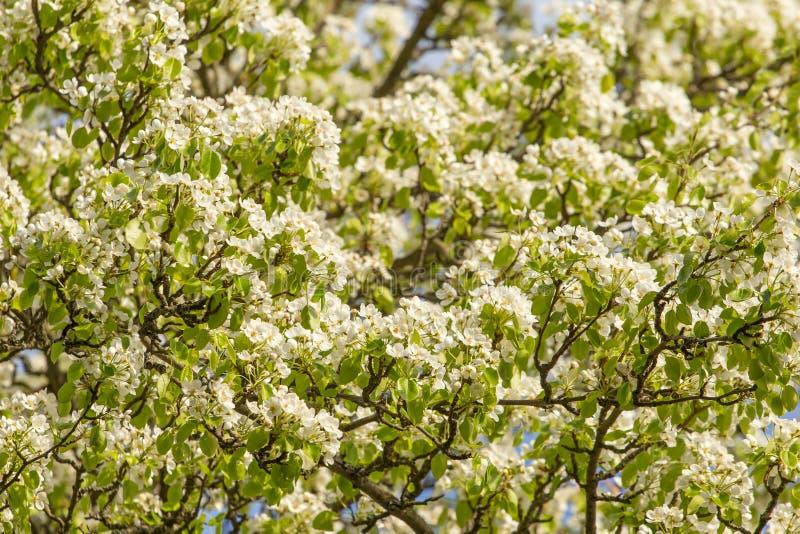 在洋梨树的许多白花在庭院里分支 图库摄影