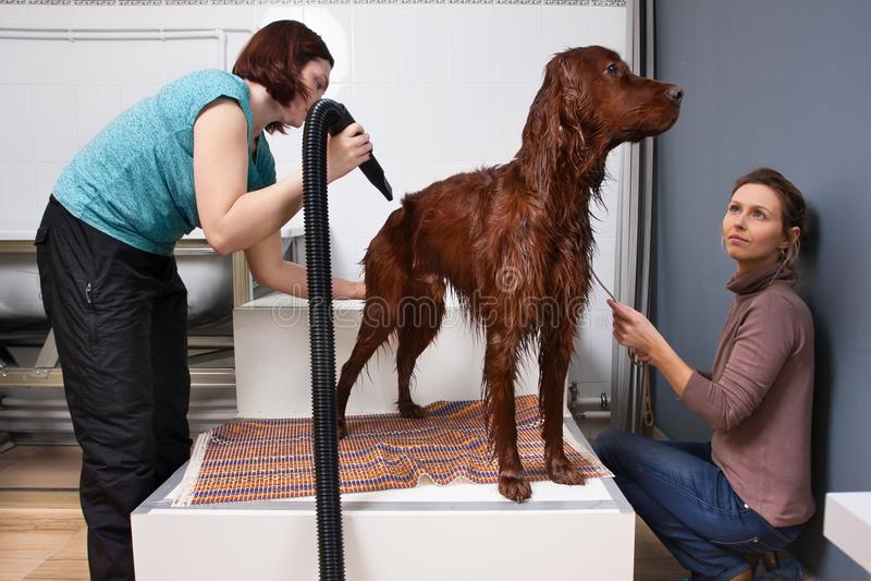 在洗涤以后宠爱狗groomer干燥毛皮  图库摄影