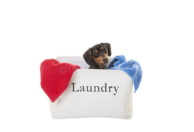 在洗衣店的微型达克斯猎犬小狗 库存照片