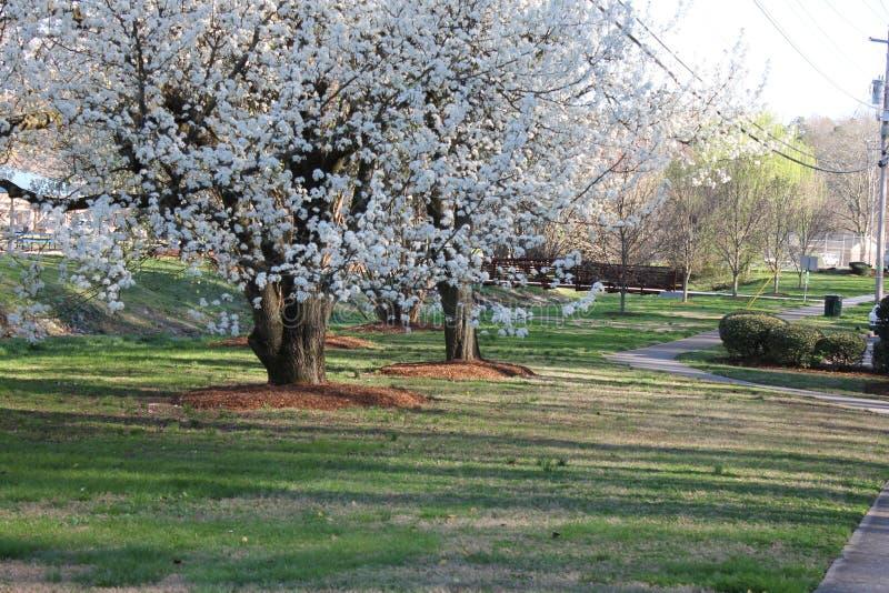 在洛克伍德公园的春季美丽的树 库存图片