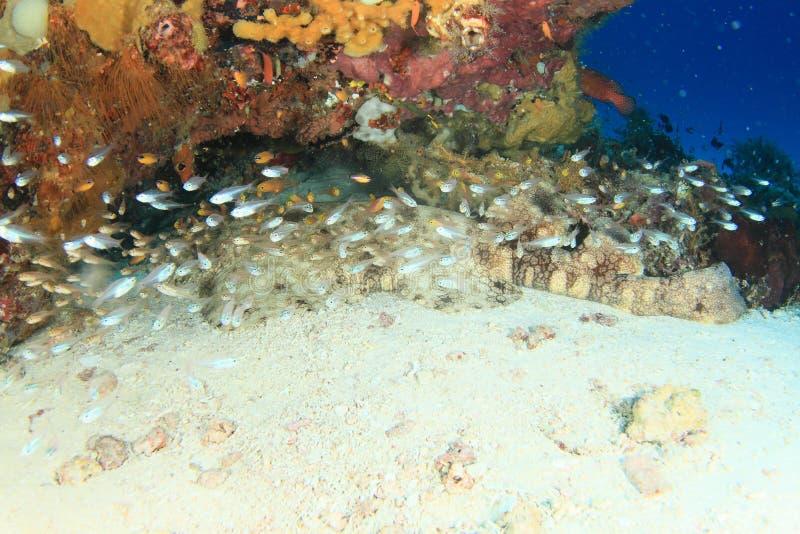 在洞的Wobbegong鲨鱼 免版税库存照片