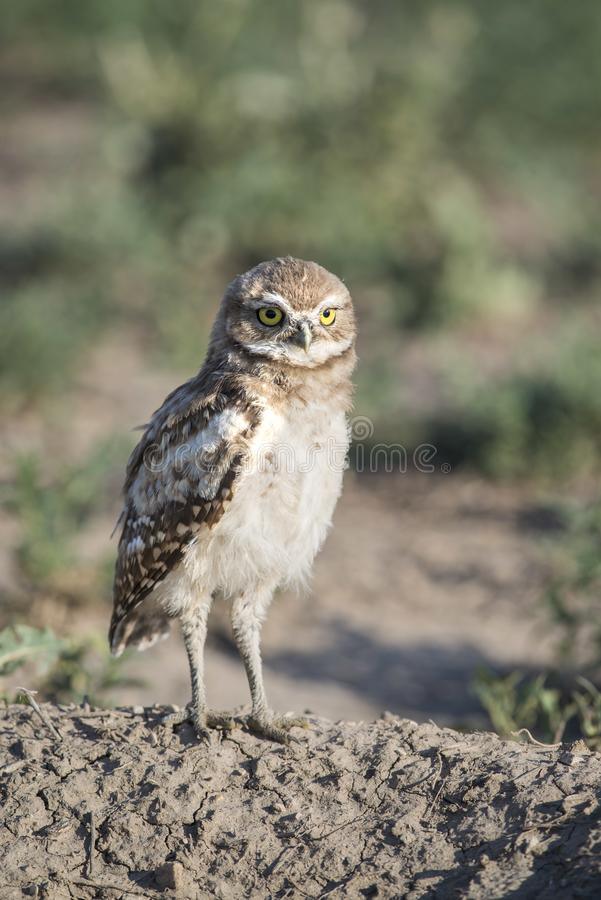 在洞穴的年轻挖洞的猫头鹰身分监视在科罗拉多草甸  免版税图库摄影