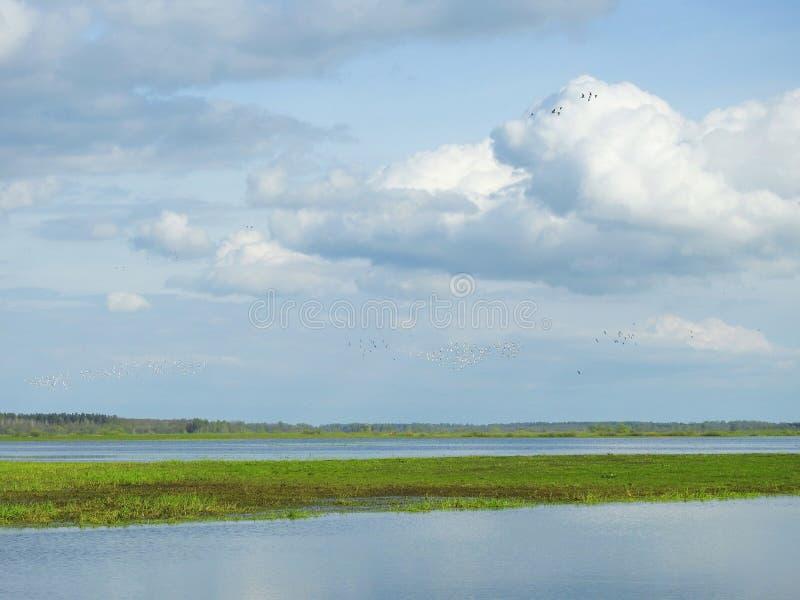 在洪水区域,立陶宛的许多鸟 免版税库存照片