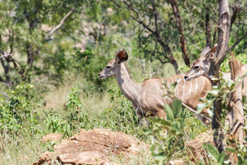在活动中Kudu的羚羊 免版税库存图片