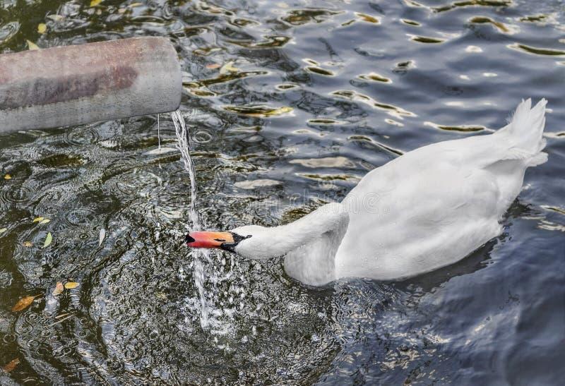 在流动从管子的湖和饮用水的天鹅游泳 库存图片