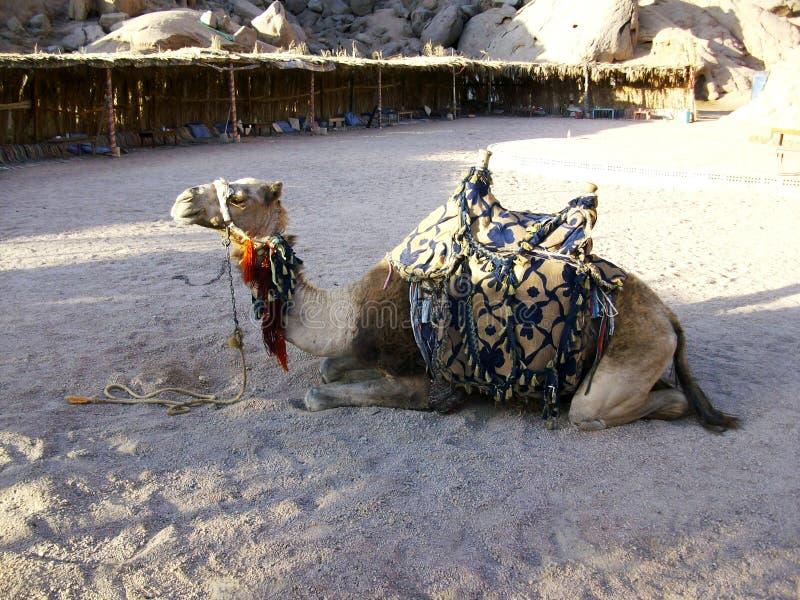 在流浪的帐篷,Sharm El回教族长的Dromedario 库存照片