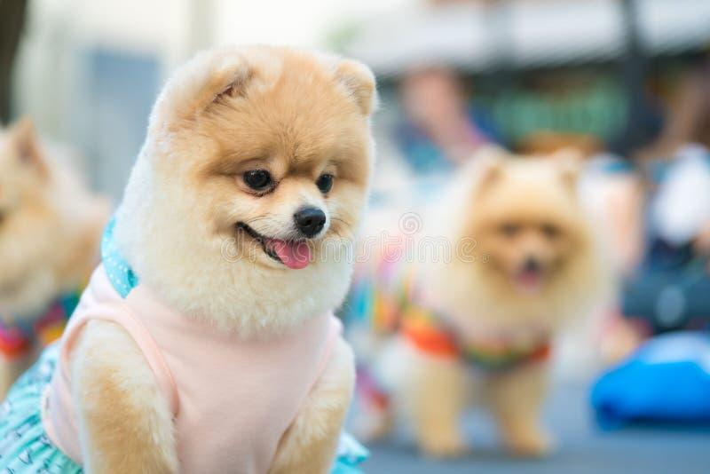 在流行的服装的逗人喜爱的pomeranian狗 免版税库存图片