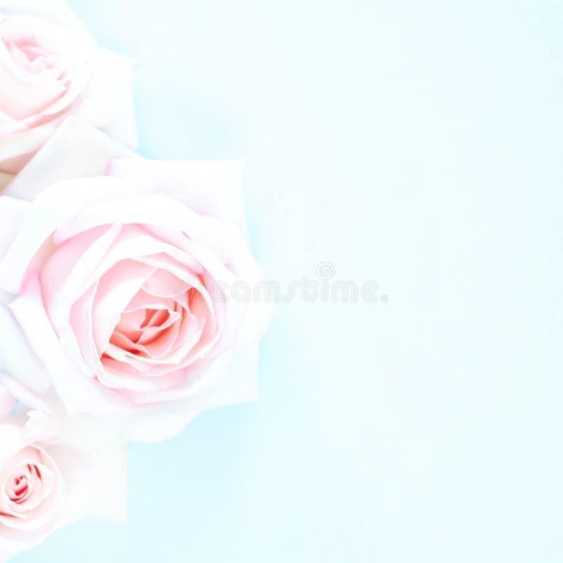 在浅兰的背景的淡粉红的玫瑰 库存图片