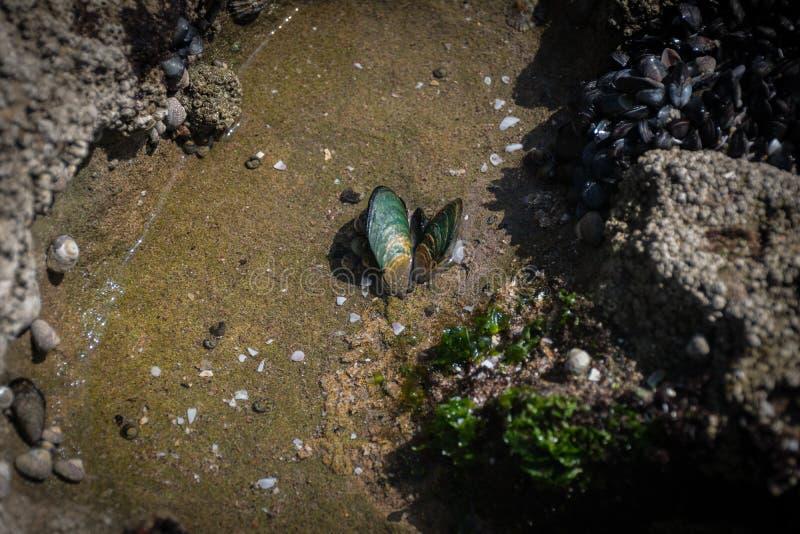 在浅水区的淡菜壳 库存图片
