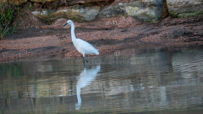 在浅河水的白色白鹭 库存图片