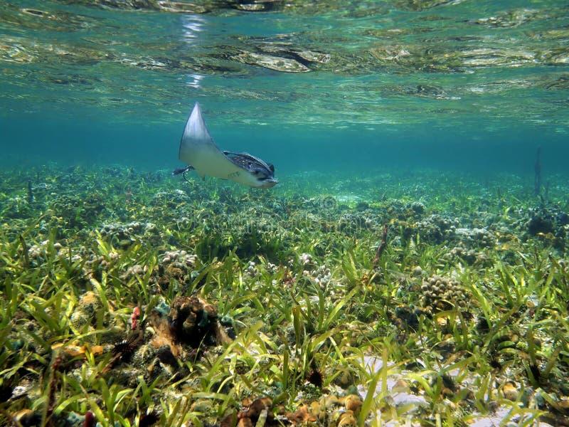 在浅珊瑚礁的被察觉的鹰 免版税库存照片