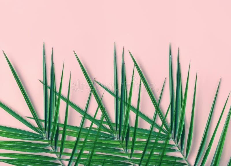 热带自然背景 在浅粉红色的墙壁背景的尖刻的羽毛似绿色棕榈叶 室房子植物室内装饰 库存图片