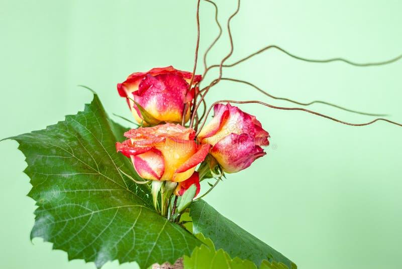 在浅绿色的背景的三朵满地露水的玫瑰 免版税库存照片