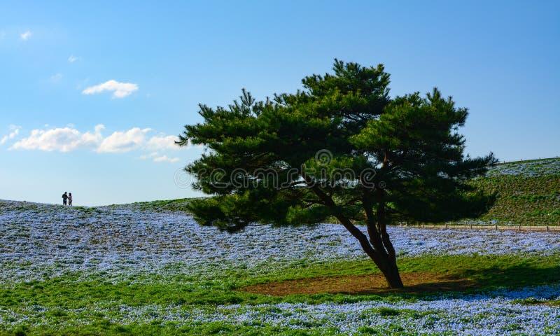 在浅蓝色的一个大领域的唯一杉树在日立海滨公园注视nemophila花在日本 库存图片
