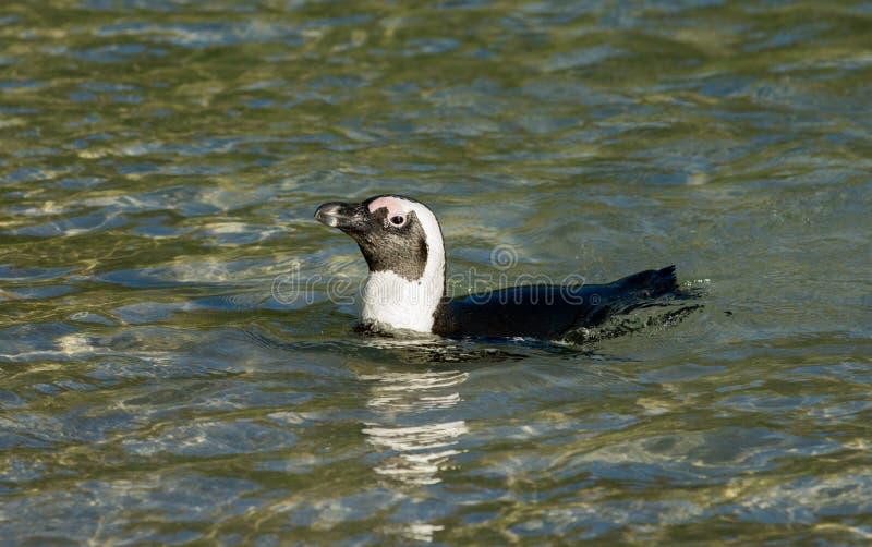 在浅水区的非洲企鹅游泳 免版税库存照片