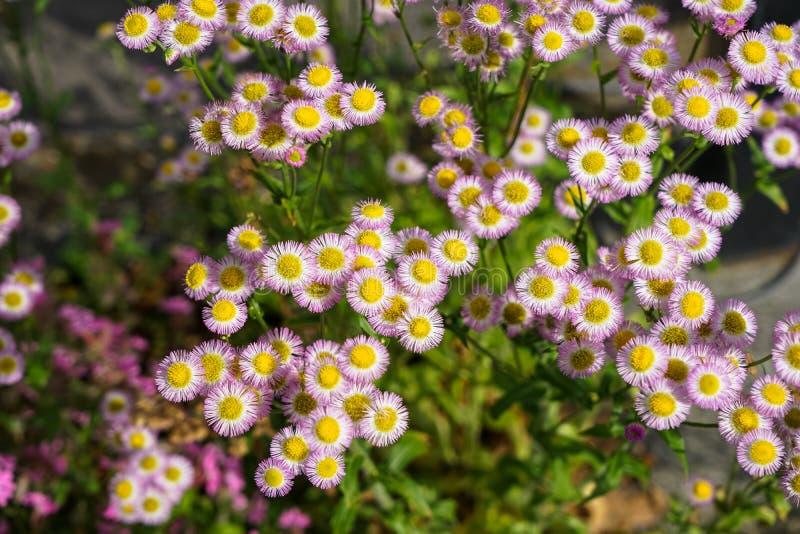 在浅紫色的颜色瓣和黄色花粉的明亮的小环形轧材翠菊花在晴天有被弄脏的背景 库存照片