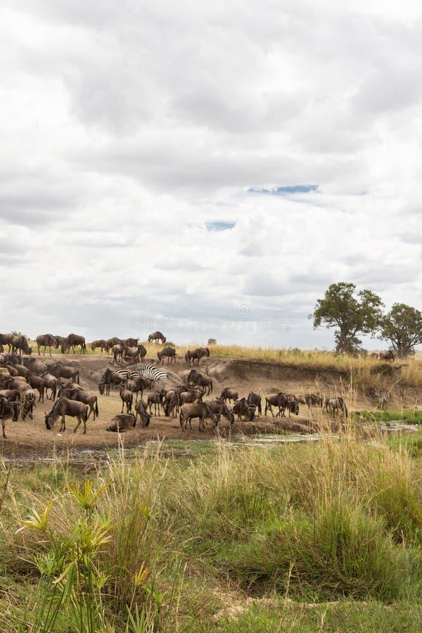 在浇灌的角马 肯尼亚mara马塞语 图库摄影