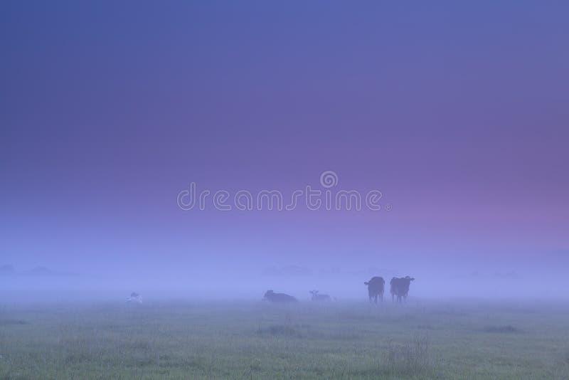 在浓雾的母牛在早晨牧场地 免版税库存照片