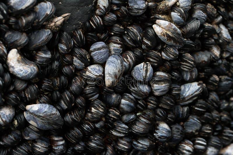 在浪潮水池的太平洋海岸淡菜 库存图片