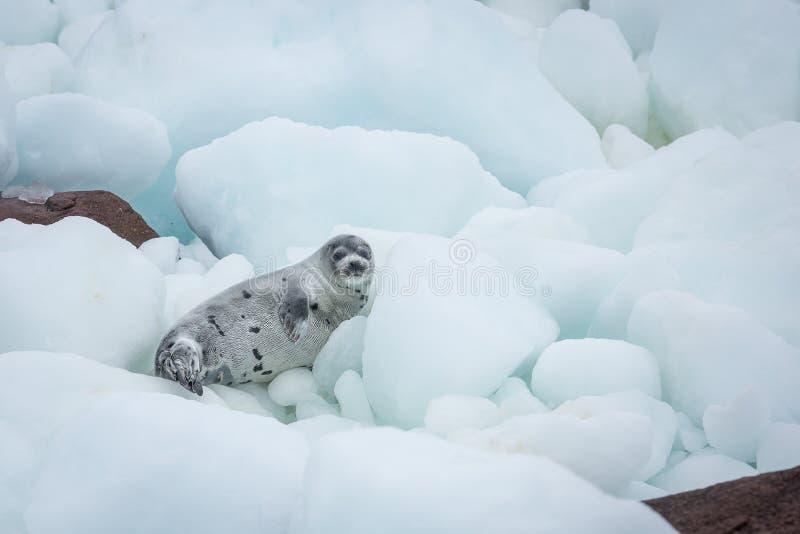 在浮冰块和沿海岩石的年轻格陵兰海豹 免版税库存图片