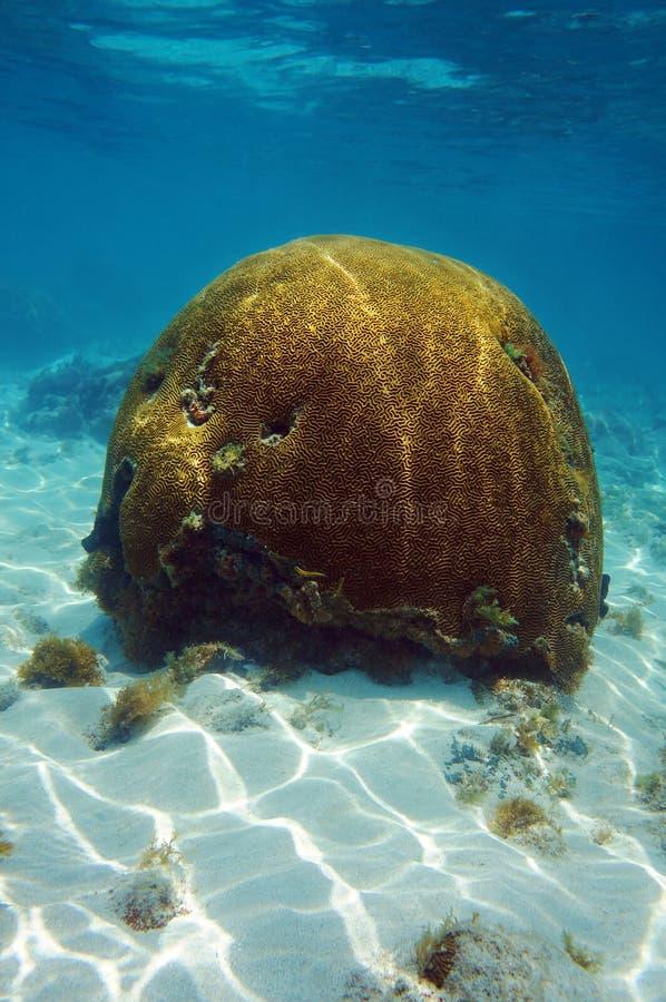 在海下的脑珊瑚有阳光波纹的  免版税库存图片