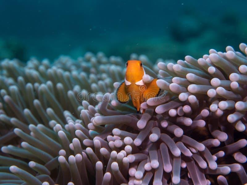 在海下的银莲花属鱼 免版税库存图片