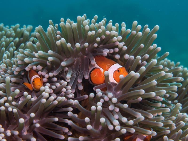 在海下的银莲花属鱼 图库摄影
