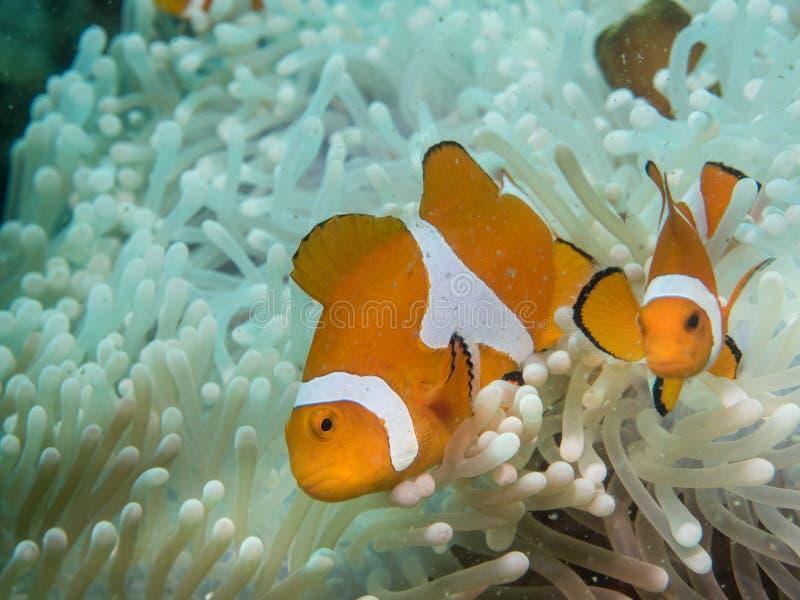 在海下的银莲花属鱼 库存照片