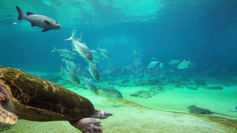 在海世界英属黄金海岸昆士兰澳大利亚的绿浪乌龟 股票录像