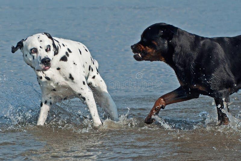 在海依托的一只达尔马提亚狗远离酸Rottweiler 免版税库存照片