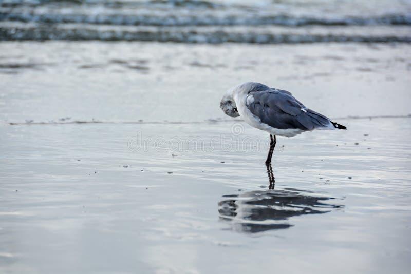 在海反映的害羞的海鸥ballerine 免版税库存图片