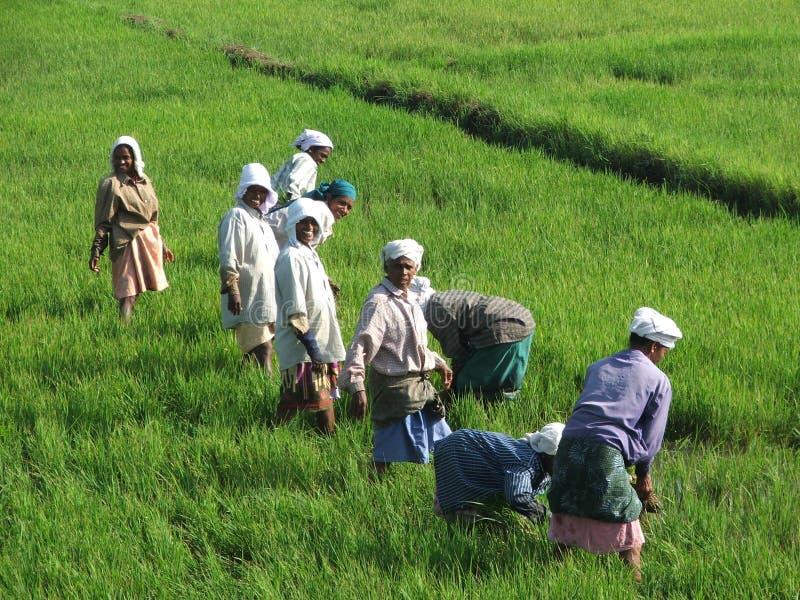 在海啸以后编组稻田的印第安妇女 免版税库存图片