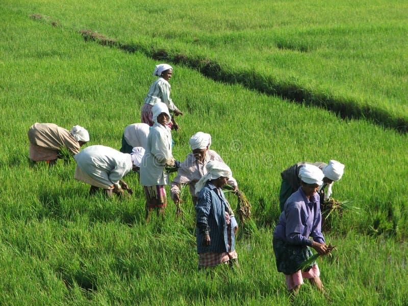 在海啸以后编组稻田的印第安妇女 免版税库存照片